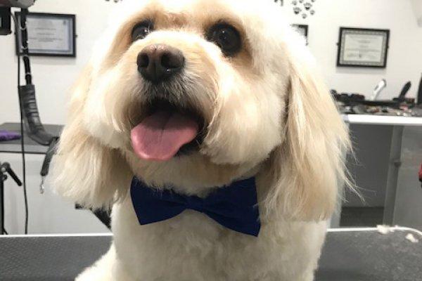 Dolly Dog Grooming Salon Cobham Surrey - Cavapoo
