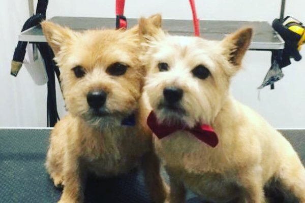 Cairn Terriers after grooming, Cobham, Surrey