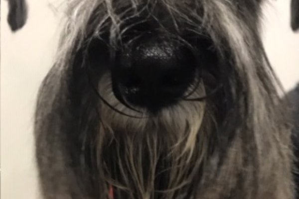 Miniature Schnauzer after grooming