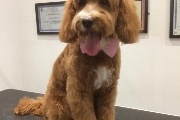 Cockapoo after grooming