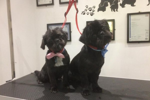 Shih Tzu dog grooming in Cobham Surrey