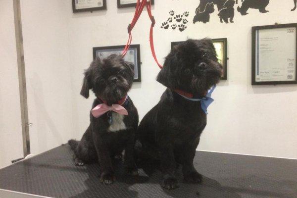 Shih Tzu dog grooming in Cobham Surrey