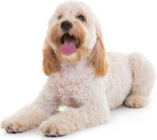 Cockapoo and Cavapoo grooming in Surrey