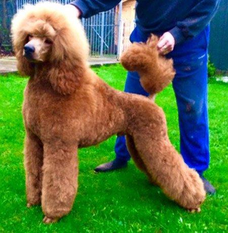 poodle groomer Cobham Esher Oxshott Surrey